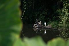 Vit ägretthäger i skogen Fotografering för Bildbyråer