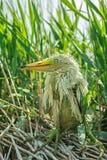 Vit ägretthägerfågelunge Royaltyfri Bild