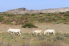 Vit åsna, öasinara för invånare endast, sardinia Italien Fotografering för Bildbyråer