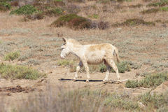 Vit åsna, öasinara för invånare endast, sardinia Italien Royaltyfria Foton