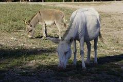 Vit åsna i den Asinara ön i Sardinia Italien arkivfoto