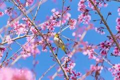 Vit-öga fågel på Cherry Blossom Arkivbilder