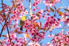 Vit-öga fågel på den körsbärsröda blomningen och sakura royaltyfria foton