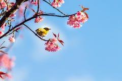 Vit-öga fågel på den körsbärsröda blomningen och sakura royaltyfria bilder