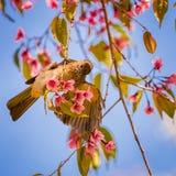 Vit-öga fågel på körsbäret Arkivbild