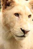 Vit afrikan Lion Cub Arkivbild