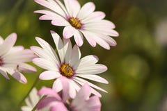 Vit afrikanDaisy Flowers dans i solskenet Arkivfoto