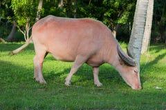 Vit albinobuffel Arkivbild