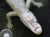 Vit albinokrokodil Royaltyfria Foton
