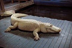Vit alligator Royaltyfria Foton