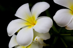 Vit Almeria blommablom Arkivfoto