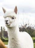 Vit alpaca Arkivbild
