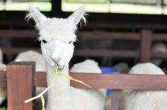 Vit alpaca Royaltyfria Bilder
