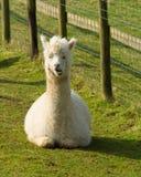 Vit alpaca som ligger se kameran och visa ner tänder Arkivfoto