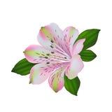 Vit alstromeriablomma med vec för rosa och gröna färger royaltyfri illustrationer