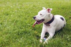 Vit amerikanska staffordshire terrier som ligger i gräset Arkivfoton
