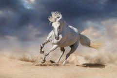 Vit andalusian häst arkivbild