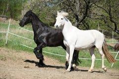 Vit andalusian häst med den svarta friesianhästen Fotografering för Bildbyråer