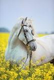 Vit andalusian häststående Arkivfoton