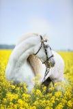 Vit andalusian häststående Royaltyfri Foto