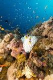 Vit anemon och tropisk rev i Röda havet. arkivfoto