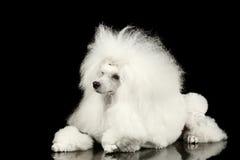 Vit ansat ligga för pudelhund som isoleras på svart bakgrund Royaltyfria Bilder