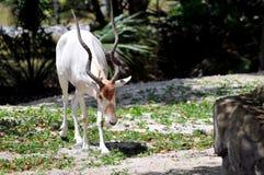 Vit antilop för Addax (Addaxnasomaculatus) Arkivfoton