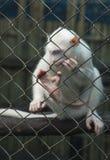 Vit apa som tänker i en bur bak stänger royaltyfri fotografi