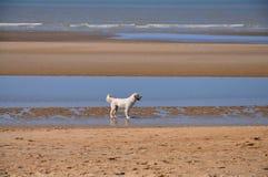 Vit apportör på stranden Arkivbild