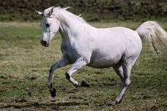 Vit arabisk häst i galop Fotografering för Bildbyråer