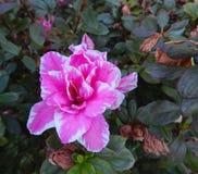 Vit azaleablomma som är rosa och royaltyfria bilder
