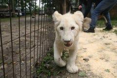 Vit behandla som ett barn lejonet Royaltyfria Bilder