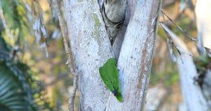 Vit-beklädd papegoja, Amazonaalbifrons som söker trädlemmen 4K lager videofilmer