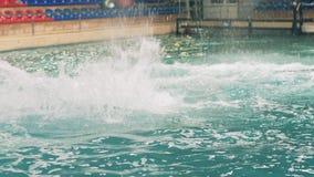 Vit belugabanhoppning och dykning i simbassäng under utbildning i delfinarium arkivfilmer