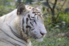 Vit Bengal tiger Arkivfoto