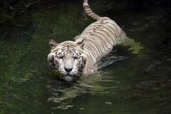 Vit Bengal tiger Royaltyfri Bild