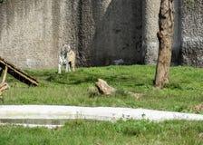 Vit Bengal tiger i en zoo som ser folkinChatverzoo Chandigarh royaltyfri foto