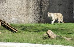 Vit Bengal tiger som går i en zoo i den Chatver zoo Chandigarh Punjab royaltyfria foton
