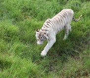 Vit Bengalese tiger på en grön glänta. Royaltyfria Foton