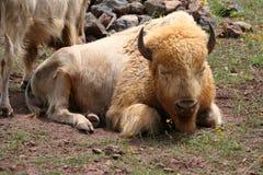 Vit bison Arkivfoto