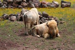 Vit bison Royaltyfri Foto