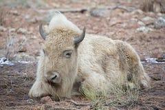 Vit bison Arkivbild