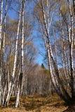 Vit björkskog Arkivbild