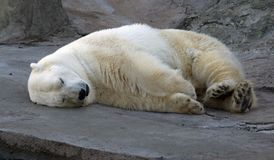 Vit björn Arkivbild