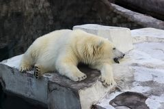 Vit björn i zoo Fotografering för Bildbyråer