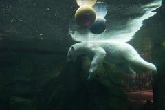 Vit björn som är undervattens- på zoo Arkivfoto