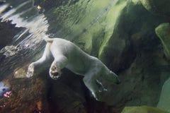 Vit björn som är undervattens- på zoo royaltyfri bild