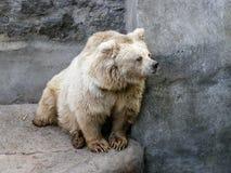 Vit björn som ser ut för Royaltyfri Foto