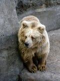 Vit björn som ser ut för Royaltyfria Bilder