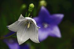 Vit blåklockaklockblomma Arkivfoto